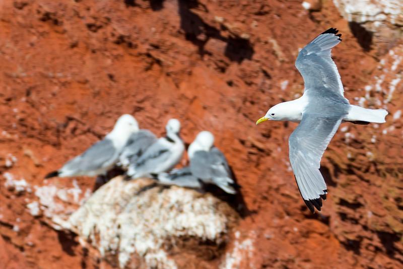 Fugle-Ride-RissaTridactyla-Helgoland-2014-07-05-_MG_7901-Danapix.jpg