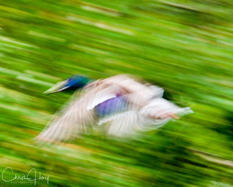 duck in motion.jpg
