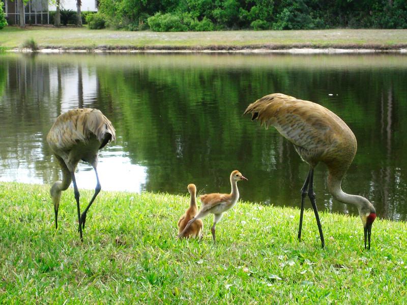 9_22_19 Sand Hill Crane Family.jpg