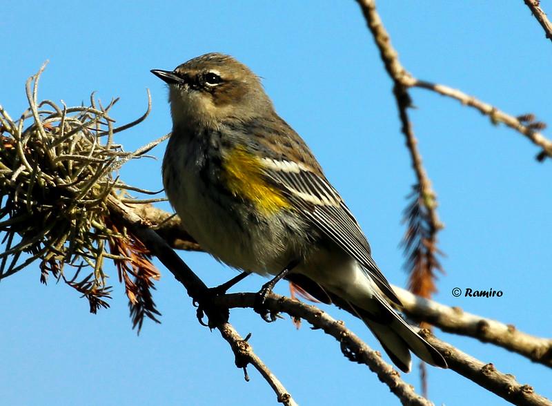 Yellow-rumped Warbler IMG_0812.jpg