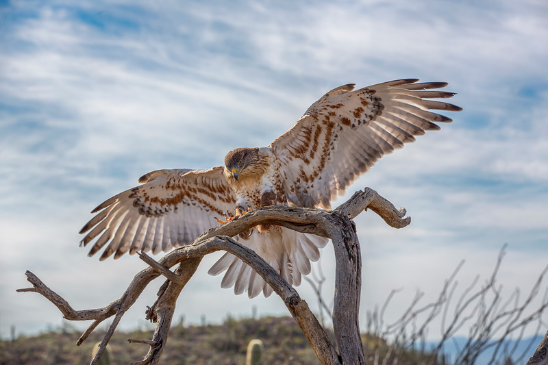 Red Tail Hawk Landing Best.jpg