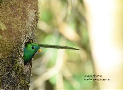 Resplendent Quetzal Videos