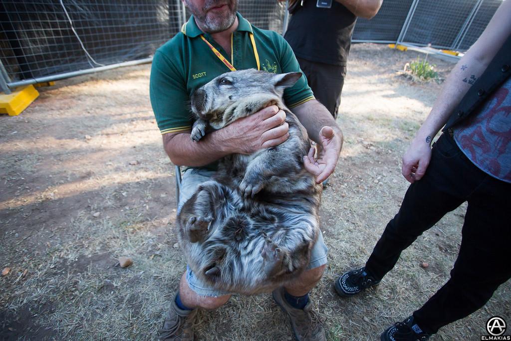 squishy wombat