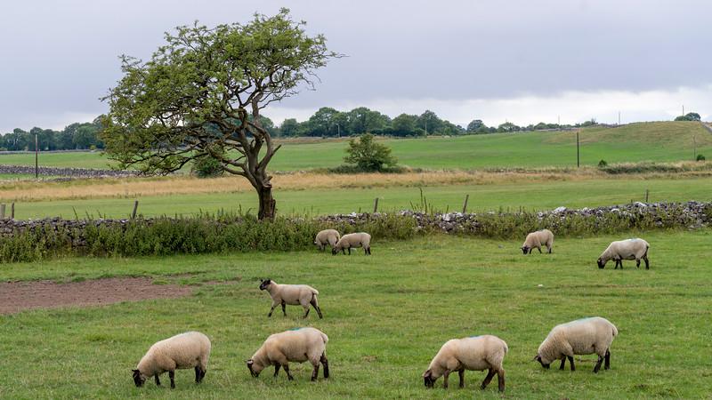 Sheep grazing in pasture, Tuam, County Galway, Ireland