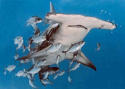 Sharks of Bimini