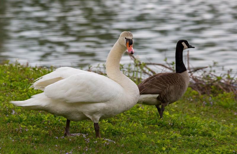 mute swan_-6.JPG