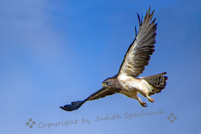 Swainson's Hawk in Flight