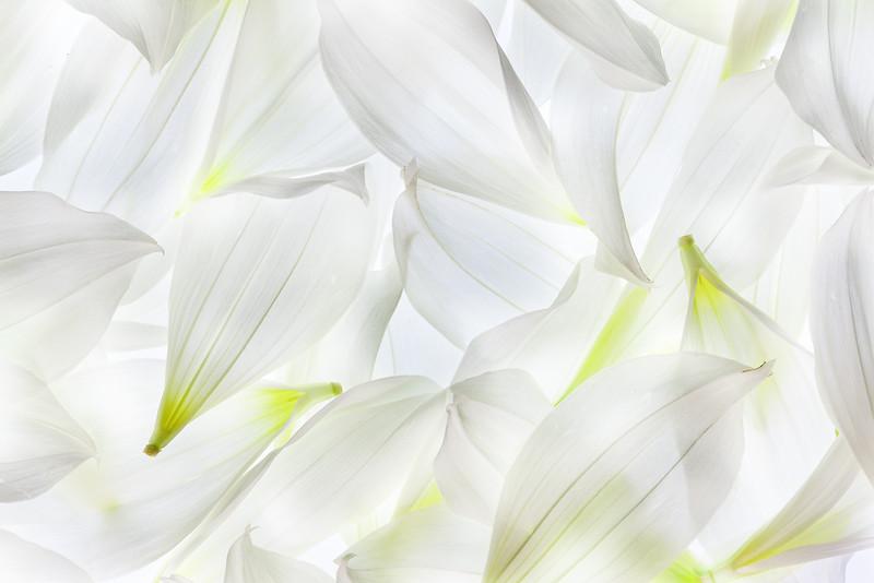 white-dahlia-03.jpg
