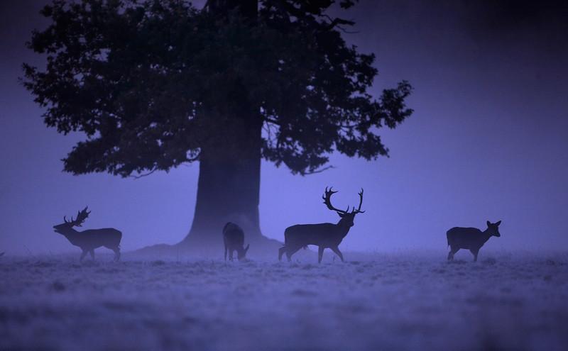 103 - Fallow Deer - 9899.jpg