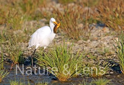 Egrets, Great Egrets