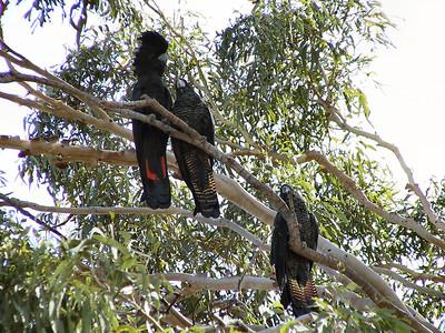 Video:  Cockatoos - Doing the Eagle Rock