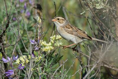 Clay-coloured Sparrow