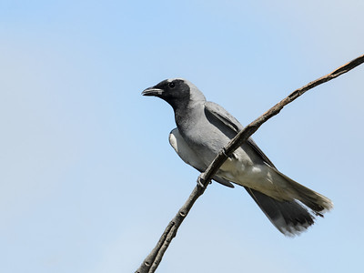 Cuckoo-shrikes and Trillers