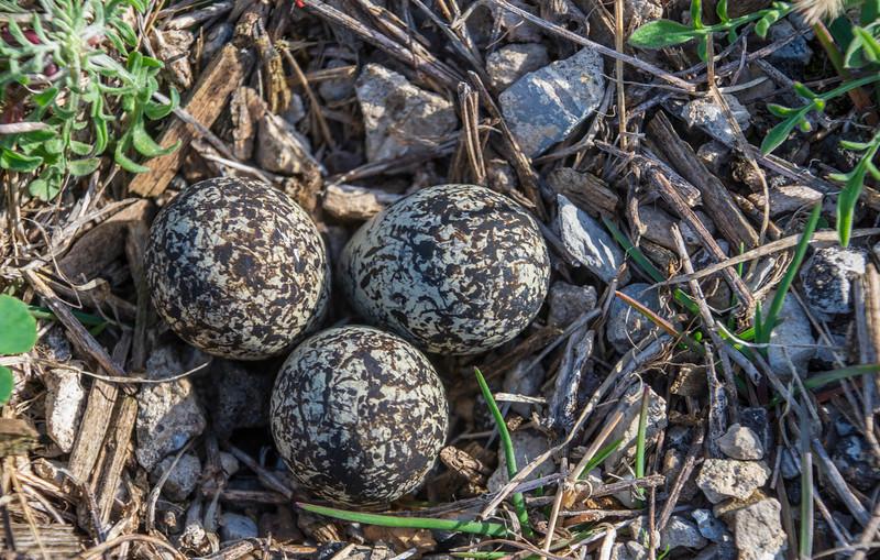 Arlington-Killdeer-nest-3eggs-April13.jpg