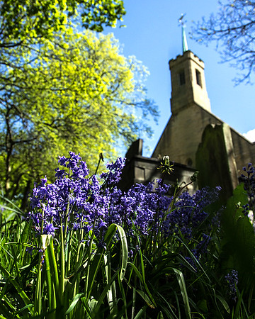 Bluebells in a churchyard