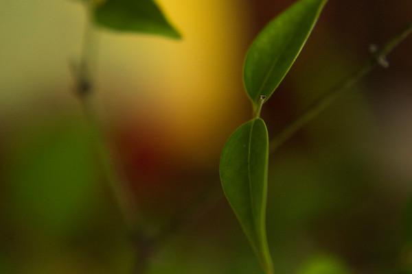 the jasmine