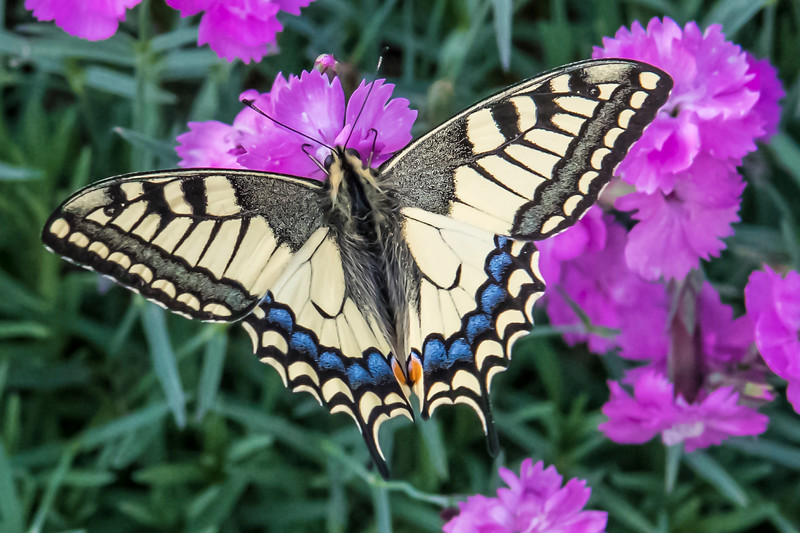 Papilio machaon -4907.jpg
