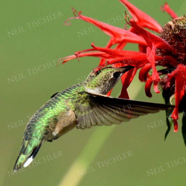 #1083  A male juvenile ruby throated hummingbird drinks from a red beebalm blossom.