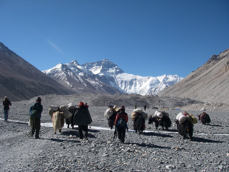 Yaks approaching Everest Base Camp (5.180m = 16,995ft)