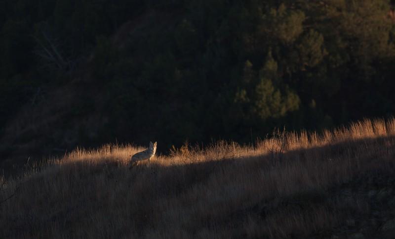 Coyote Teddy Roosevelt National Park ND IMG_7218.jpg