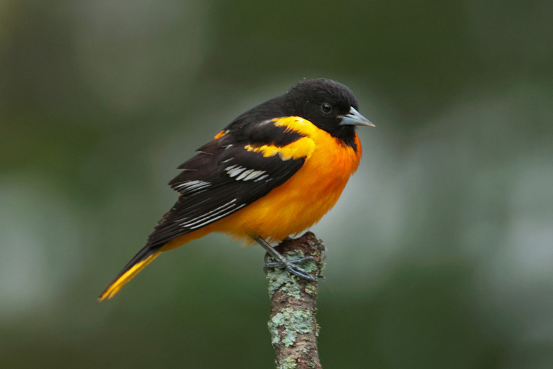 Oriole - Baltimore - male - Dunning Lake, MN - 22