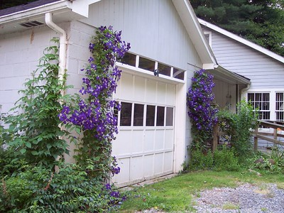 clematis at Mid's