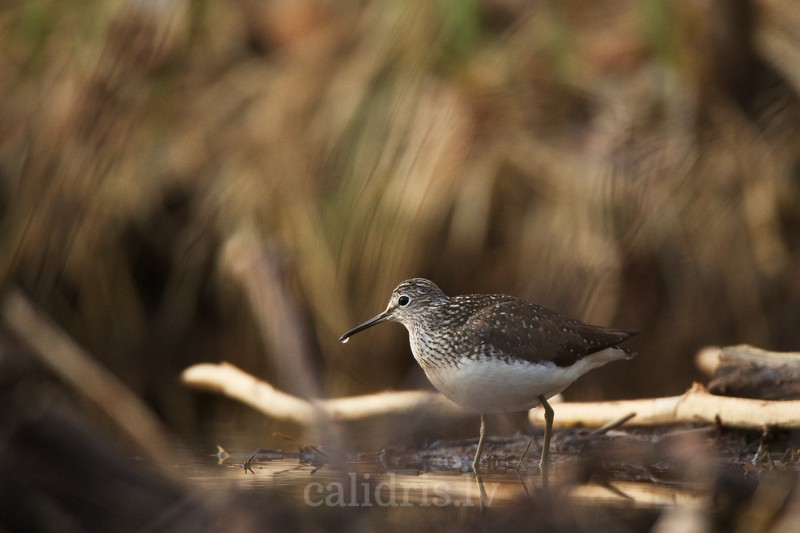 Green Sandpiper feeds on a beaver dam