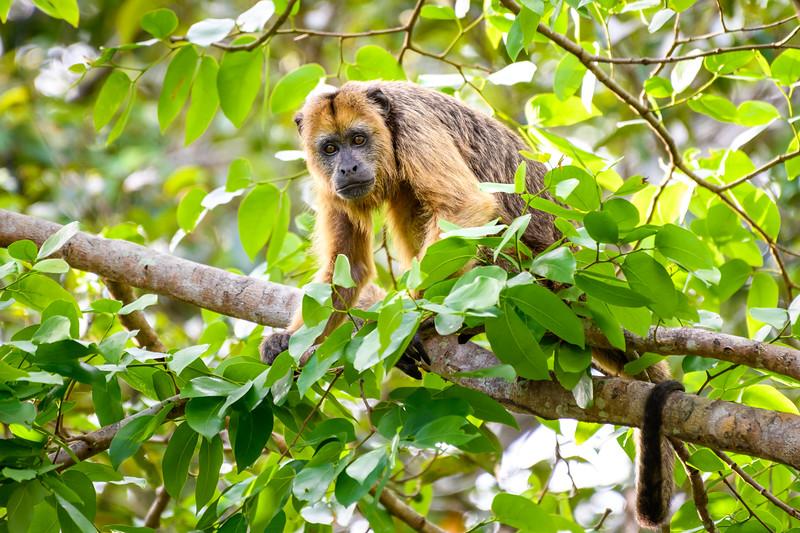 Female Howler monkey.jpg