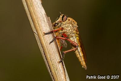 Red-legged Robber Fly