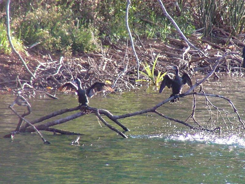 Little Black Cormorant (Phalacrocorax sulcirostris)