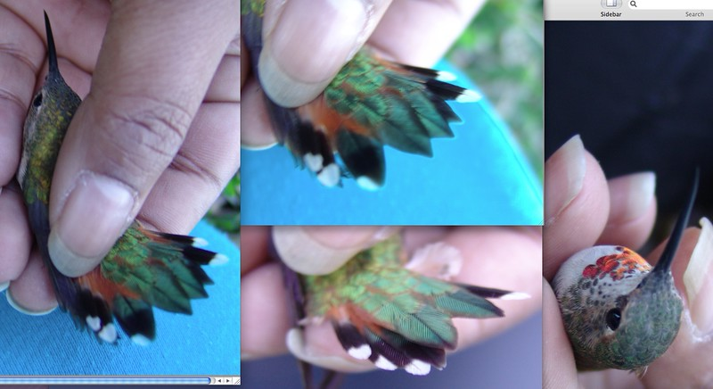 Allen'sBandingPicsComposite2-28-05 Feb. 28, 2005  four photos This is a composite of four separate photos taken when Sumita Prasad banded our Allen's Hummingbird that spent the winter with us  2004-2005.
