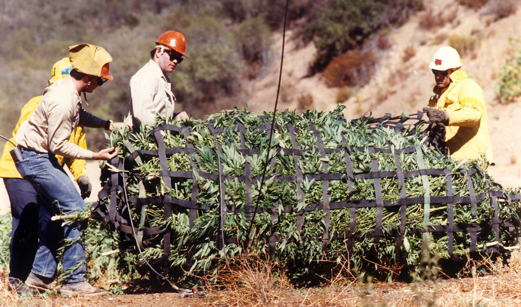 . L.A. County Firefighters unhook a load of marijuana seized from the Santa Monica Mountains on August 29, 1990.  L.A. Daily News file photo