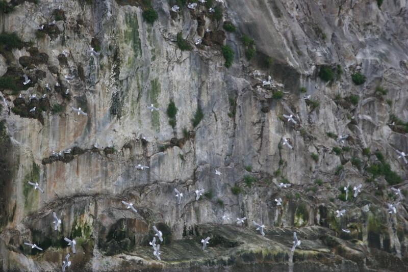 hundreds of black-legged kittiwakes