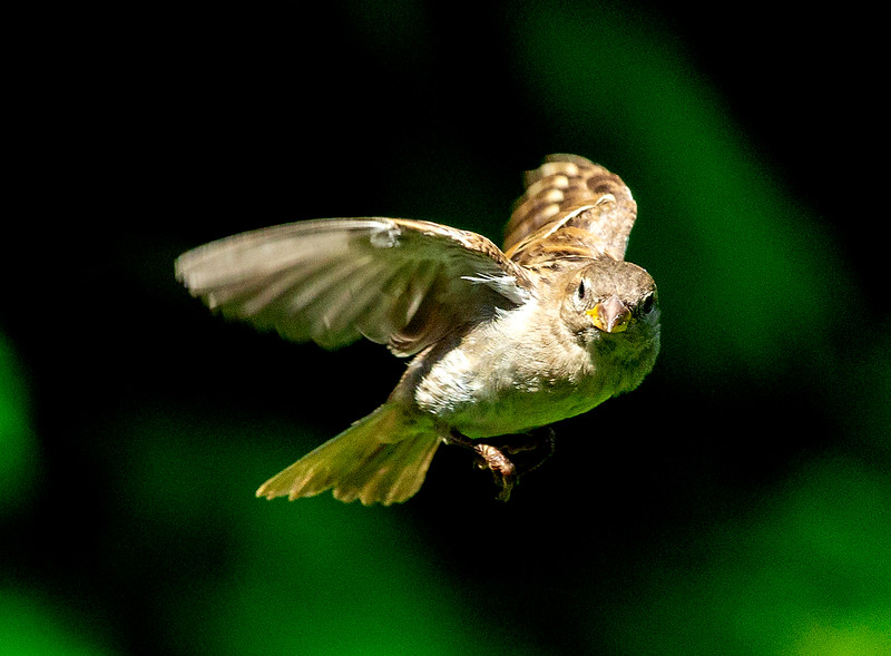 In the Boston Lienhard's garden: A Sparrow in flight.