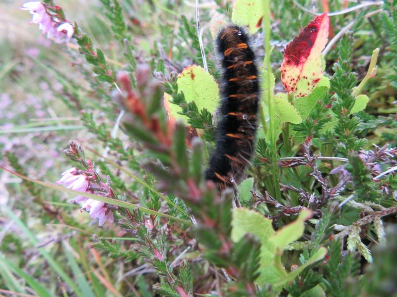 Fox moth caterpillar