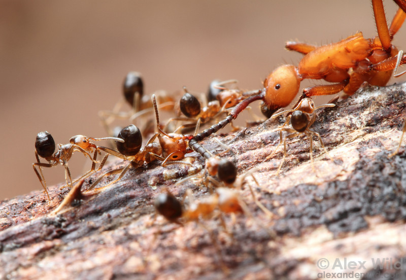 Guard ants from an Azteca colony defend their nest from an army ant raid by pinning down one of the invaders (Eciton hamatum).