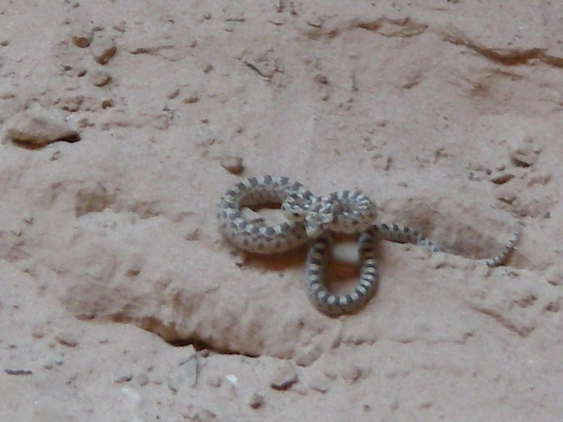 """Watch for rattlesnakes!!! The popular rattlesnake in the canyon is some type of midget and they are small, usually less than 12"""" long, and hard to see. These midget rattlesnakes often have rattles that are to small to hear. Pay careful attention to where you put your hands and where you sit."""