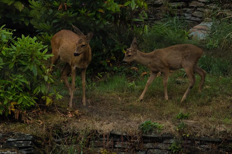 Roe Deer - Doe and Kid