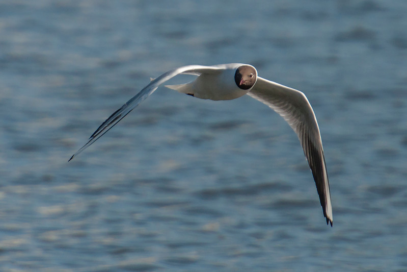 Black-headed Gull - Reykjavik, Iceland