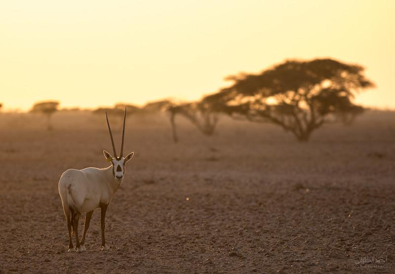 Arabian Oryx (15).jpg