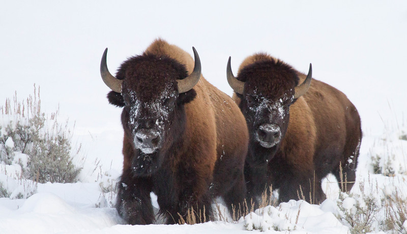 Bison duo in snow, Yellowstone National Park
