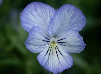 Viola cornuta 'Icy but Spicy'