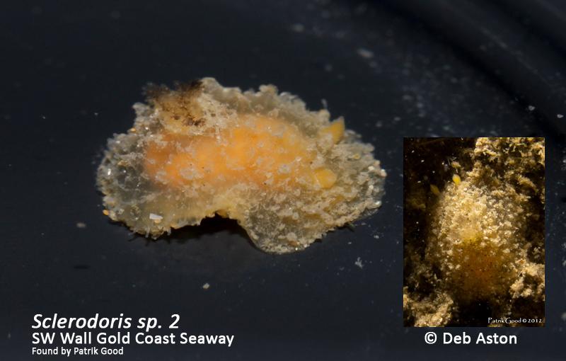 Sclerodoris sp. 2