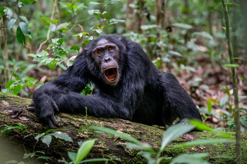 Uganda_T_Chimps-341.jpg