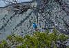 male Mountain Blue Bird