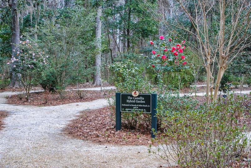 Camellia Hybrid Garden at Magnolia Gardens