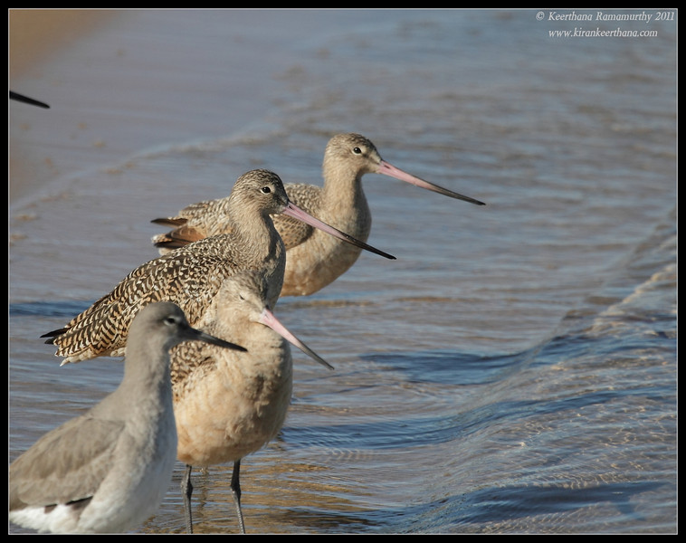 Marbled Godwits & Willet, Coronado Ferry Landing, San Diego County, California, December 2011