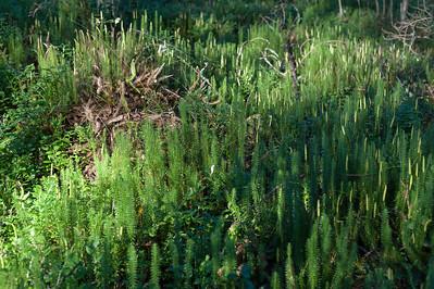 Lycopodiaceae Lummerväxter