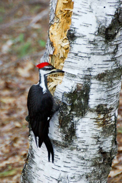 Backyard woodpecker (1 of 7)