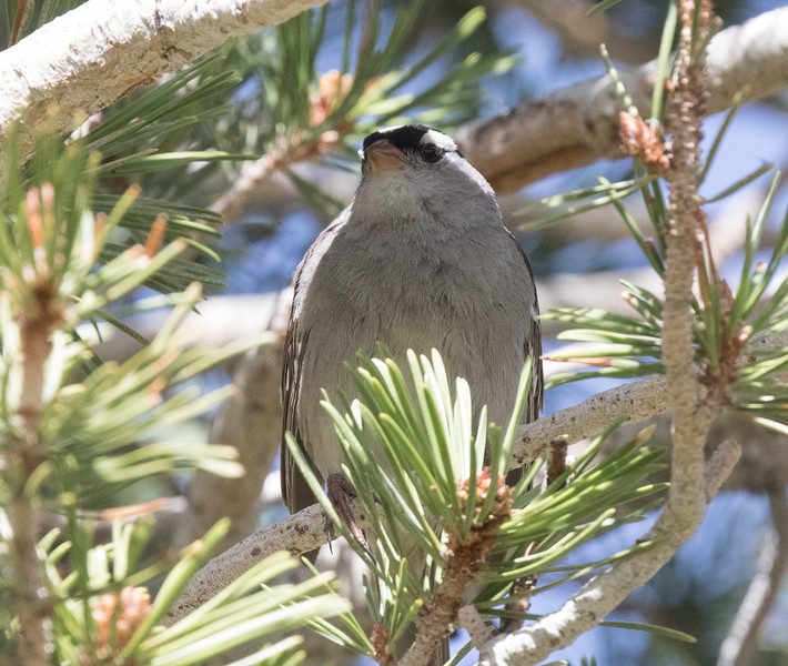White-crowned Sparrow (Oreantha} Mammoth Lakes 2020 05 24-3.CR2
